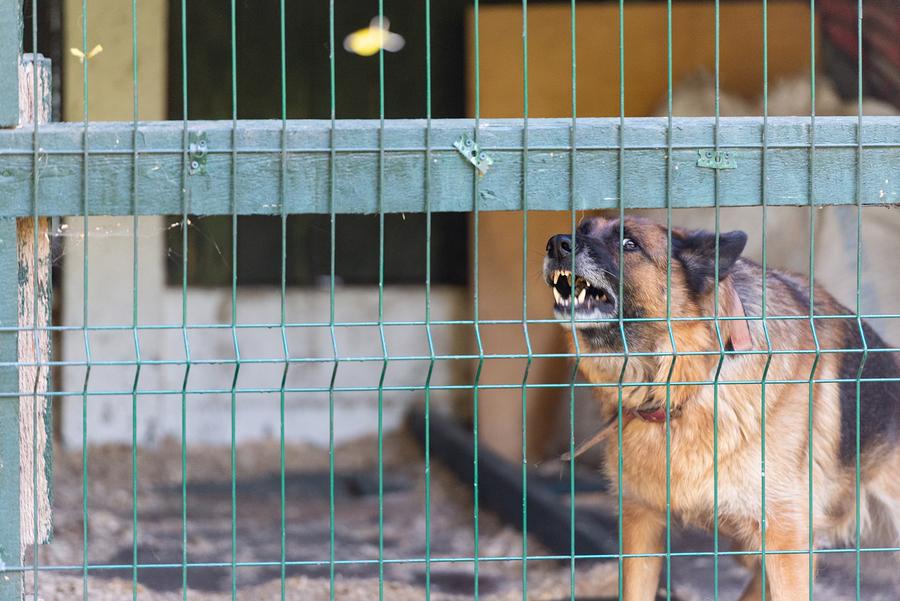 Dog showing teeth behind fence